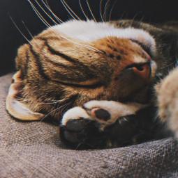 freetoedit cat cute pet animal sleep pcbeautythroughmyeyes beautythroughmyeyes