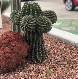 freetoedit cactus cactuslover cactusgarden