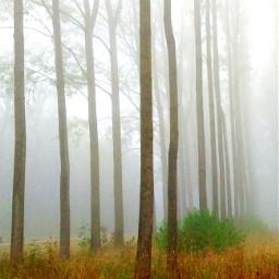 freetoedit fog myphoto trees treespirit