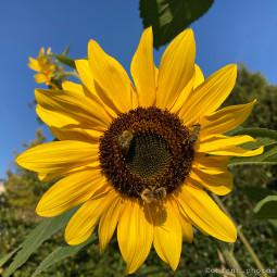 flowershoutout simple flower sunflower bee bees garden photography dewdrop orient_photos freetoedit
