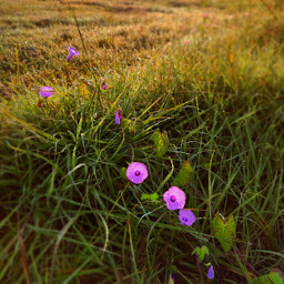 freetoedit nature beauty fall autumn grasses morning flowers morningglory wildflowers dew