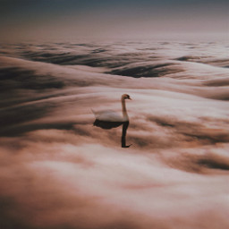 freetoedit clouds swan sky