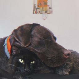 freetoedit dog cat blackcat labrador preset replay