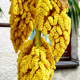 palm seeds plants nature interesting pcyellowisee yellowisee