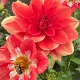 dahlia bees flowers nofilter flowerphotography naturalphoto redflower nature outside closeup freetoedit