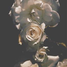 freetoedit nature flowers naturesbeauty roses beautyinnaturecreation pcinthedark lightanddark darkandsunny lightandshadows darkbackground highangleshot focusontheforeground depthoffield naturephotography
