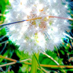 dandelion quickpic ced-filter sotto0 local ced