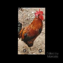 rooster gallo petsandanimals pets mascotas freetoedit local rcphonescreenwallpaper phonescreenwallpaper