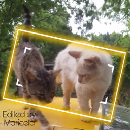 cats petsandanimals kitties gatos mascotas freetoedit local srcyellowfocusframe yellowfocusframe