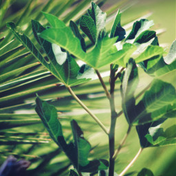 freetoedit nature plants green greenplants leaves greenleaves beautifulnature greennature softaesthetic depthoffield bluredbackground naturecolorsarealwaysperfect softcontrast lowangleshot upclose naturephotography